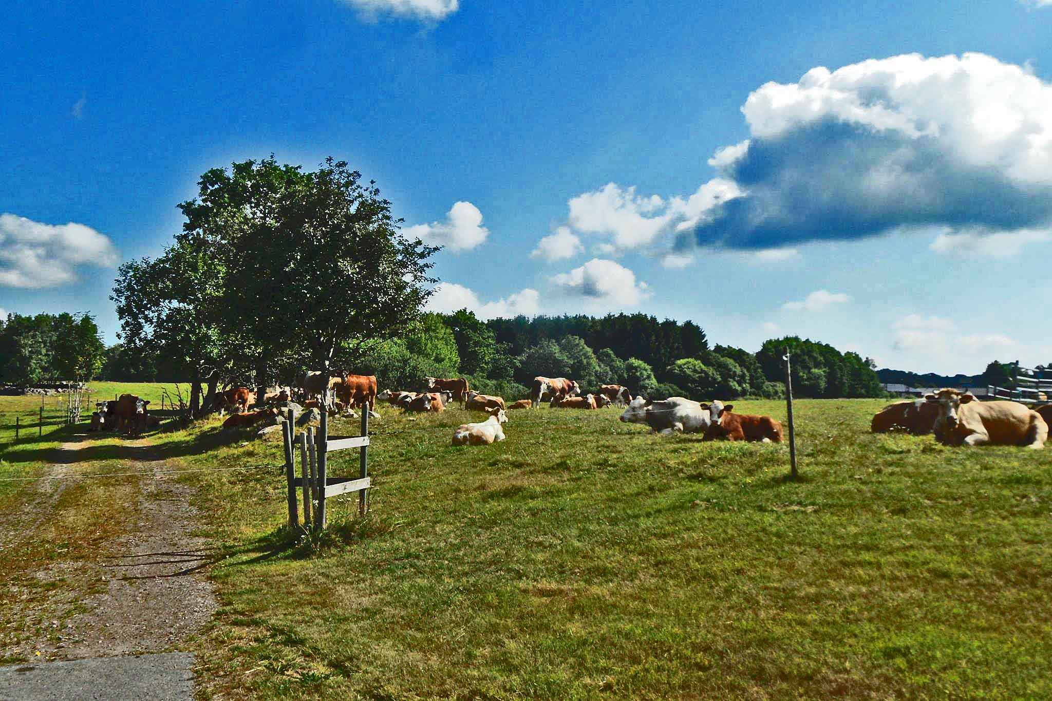 Holma cows